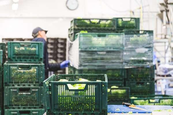 Salaattia leikkaamossa
